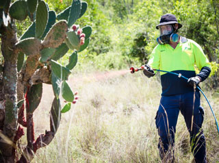 Spraying of prickly pear
