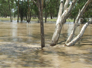 River in flood with gum trees
