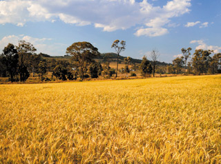 Oakey wheat field